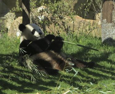 Panda-Zooparc-de-Beauval©Mir-Photo-ADT41